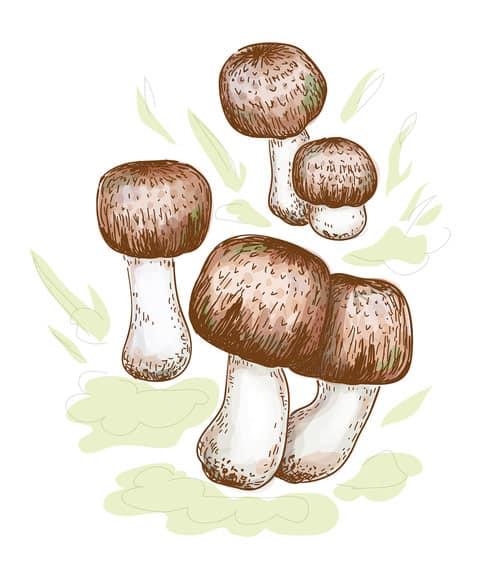 obrázek medicinální houby Agaricus Blazei Murill