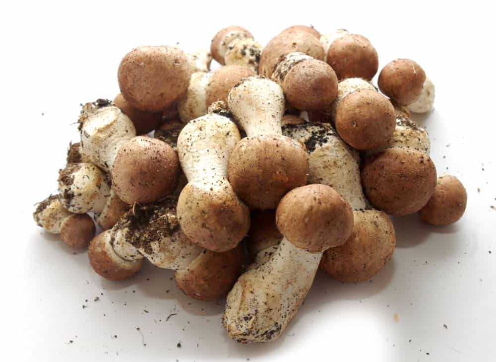 houby Agaricus blazei Murill nebo také žampion brazilský