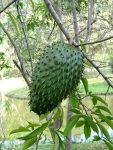 Plod anony ostnité - gravioly - na stromě