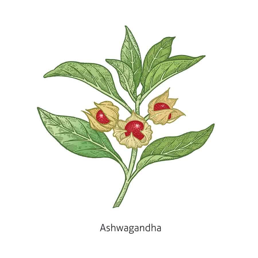 vitánie snodárná - kresba rostliny
