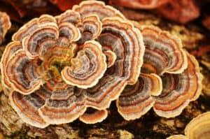 coriolus-trametes-versicolor