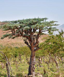 Strom Boswellia serrata - Kadidlovník pilovitý
