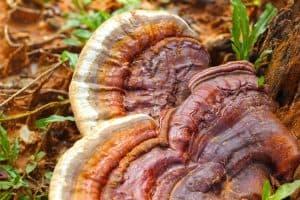 houba Ling Zhi známá jako reishi na kmeni stromu