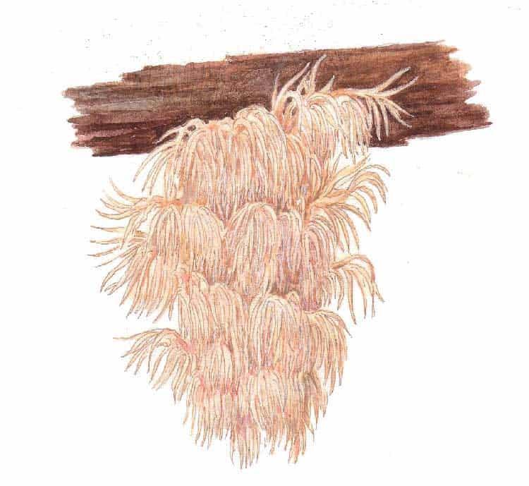 hericium-ilustrace