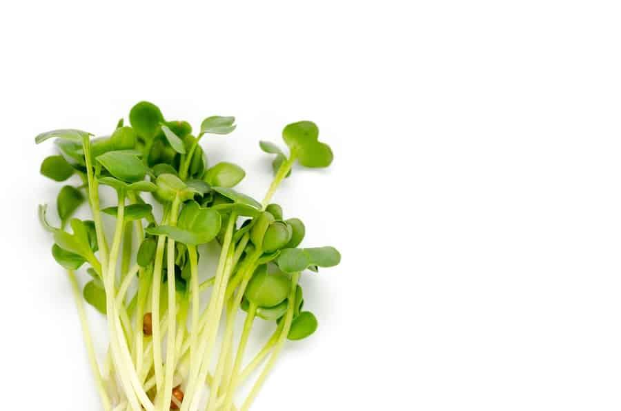 trs rostlinky alfalfa česky zvané tolice vojtěška