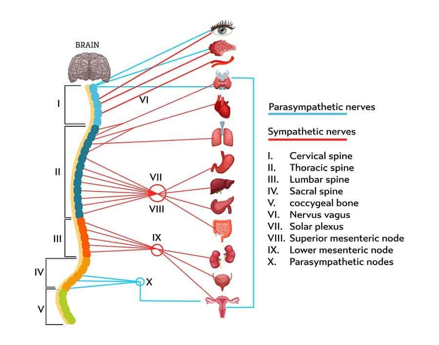 Anatomie nervové soustavy s popisky