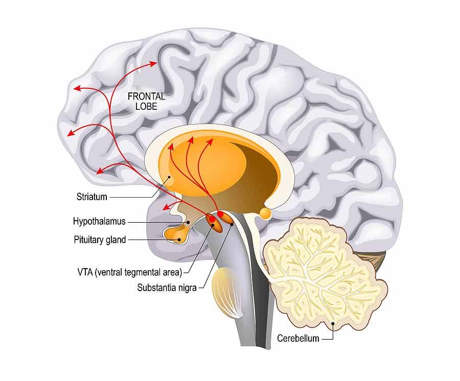 Jak putuje dopamin mozkem