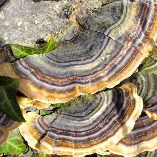 detail houby Coriolus