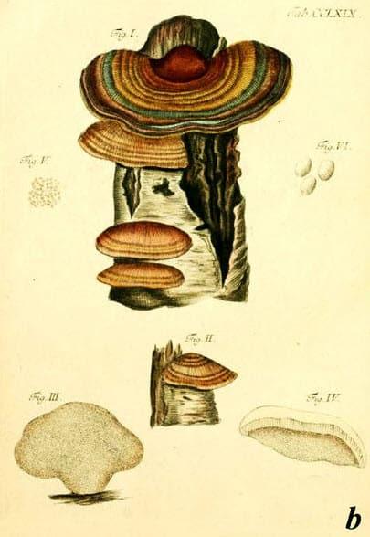 nákresy různých fází houby Coriolus versicolor