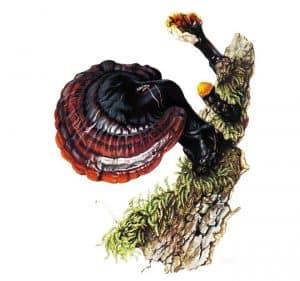 nákres houby Reishi na kmeni