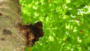 medicinální houba chaga na kmeni břízy