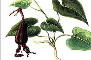 rdesno mnohokvěté kořen He Shou Wu