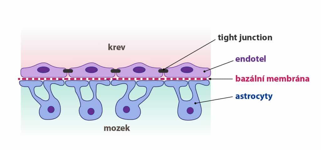 zobrazení membrány mezi mozkem a krevní zásobou - hematoencefalické mozkové bariéry