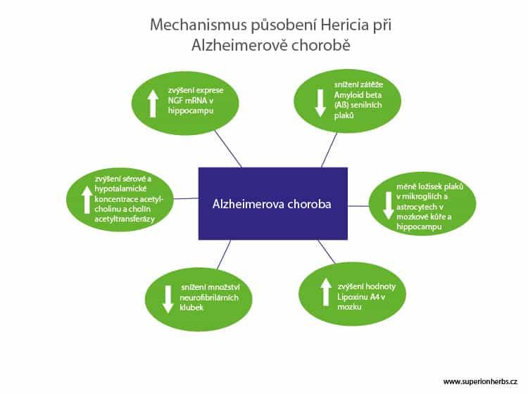 Infografika s popisy účinků korálovce ježatého při léčbě Alzheimerovy choroby