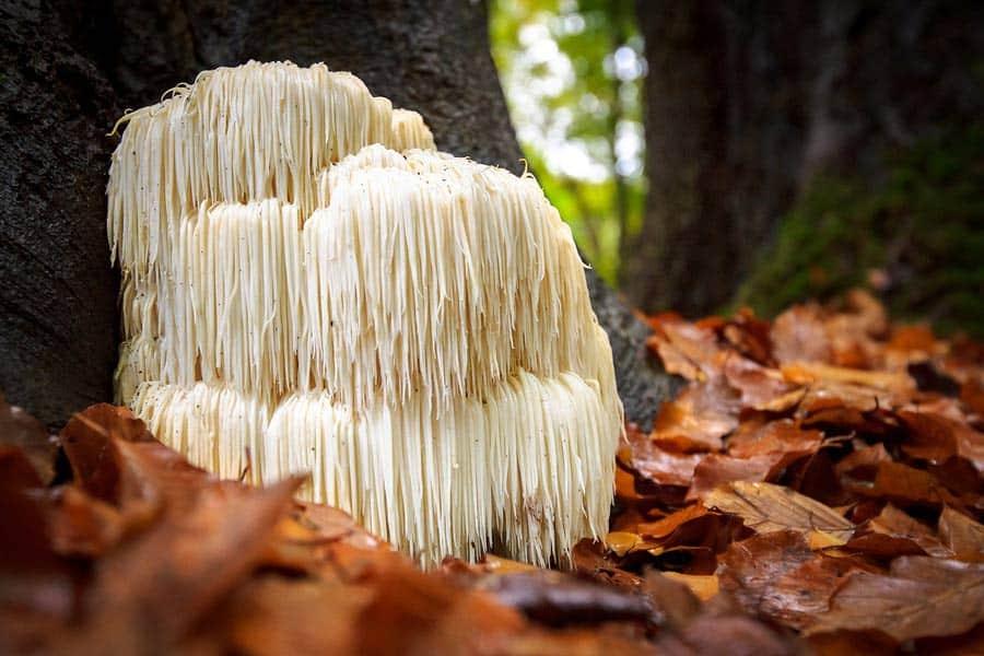 Hericium - Korálovec ježatý