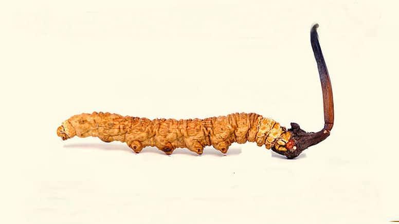 houby proti rakovine cordyceps