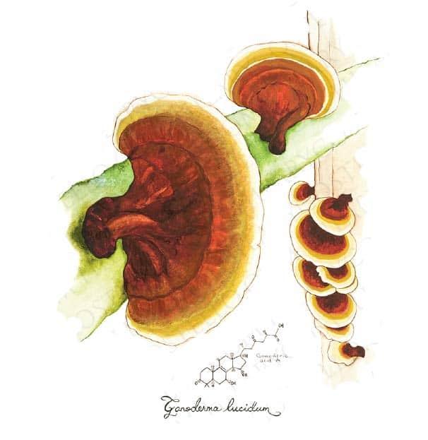 reishi houby proti rakovině