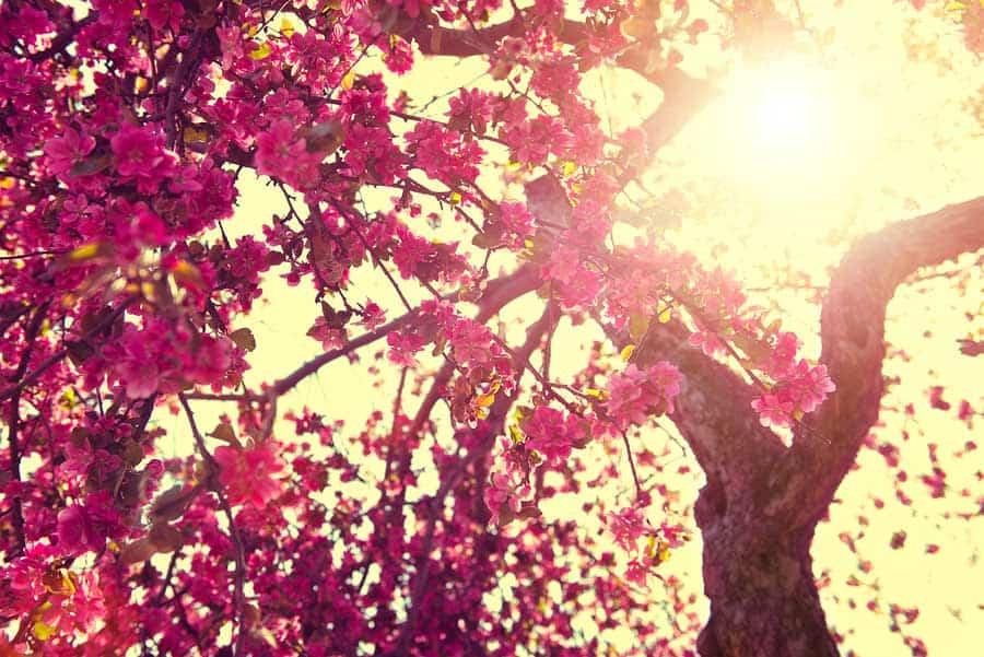 rozkvetlá třešeň ve svitu slunce