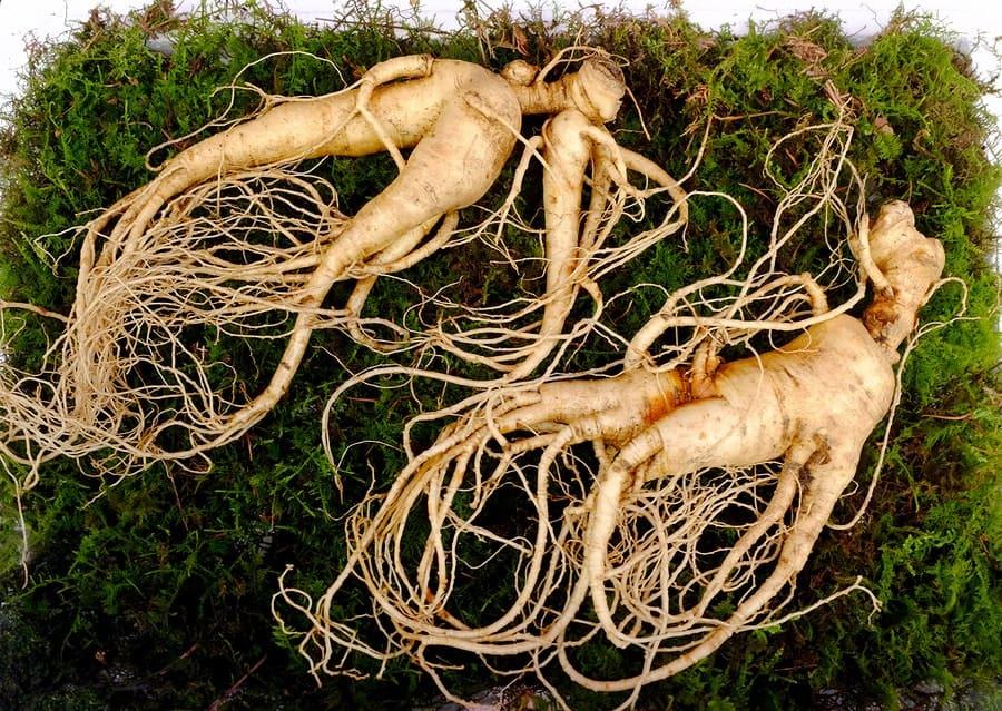 kořen ženšenu na trávě