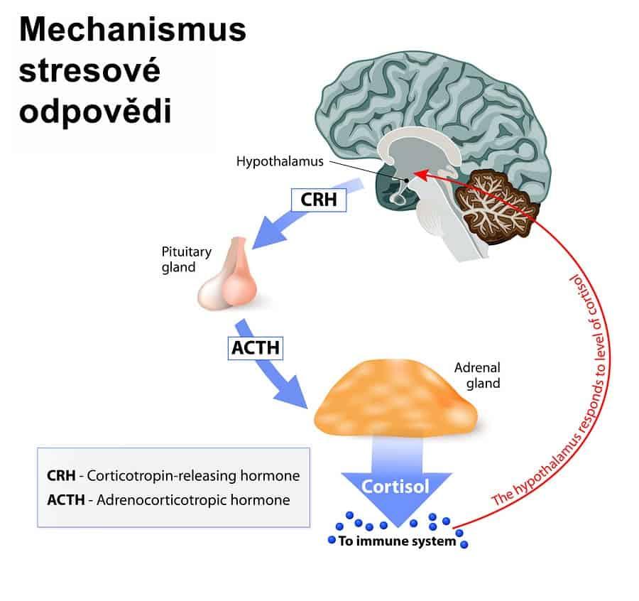 Schéma mechanismu stresové odpovědi
