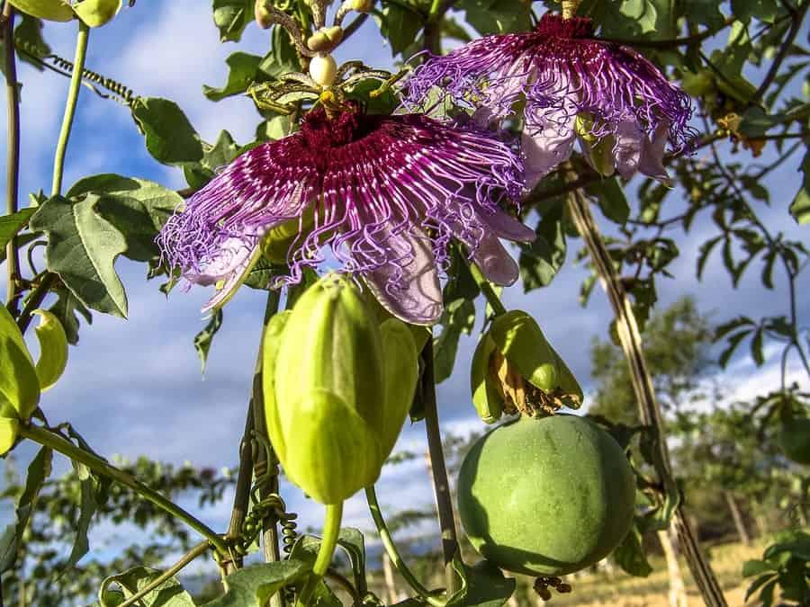 květ a plod mučenky pletní