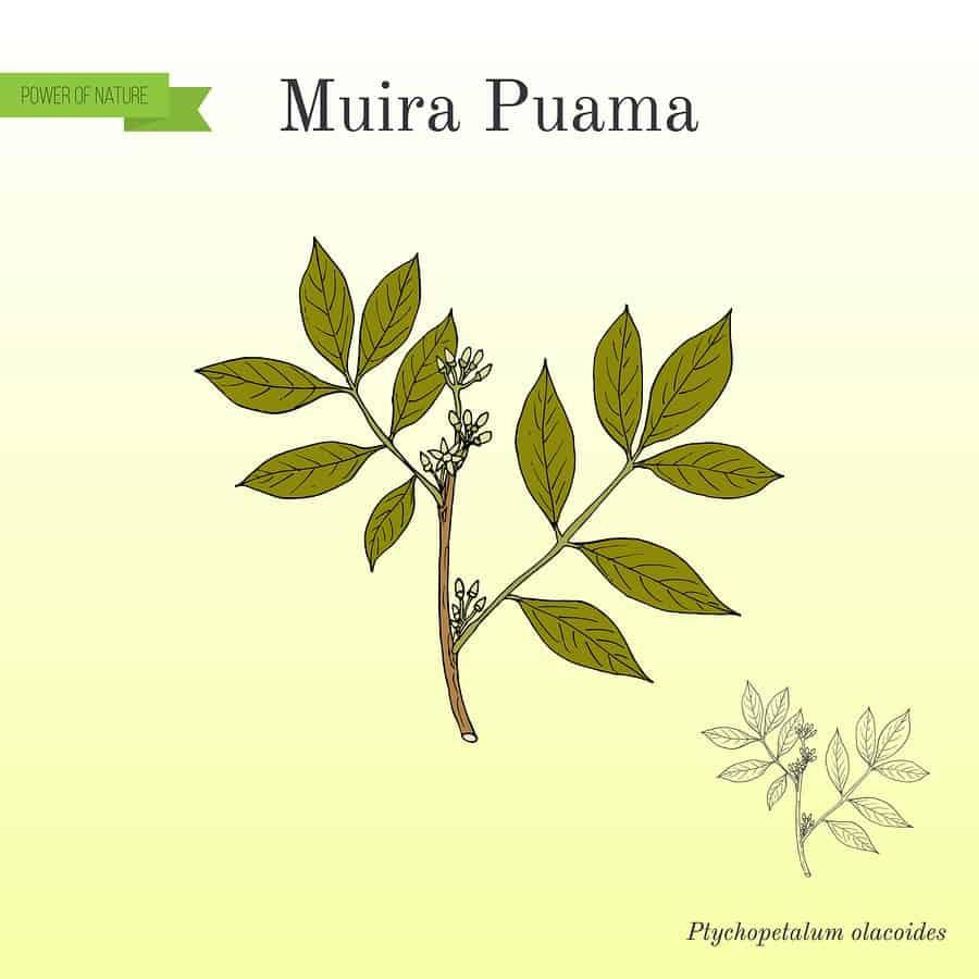 nákres rostliny muira puama