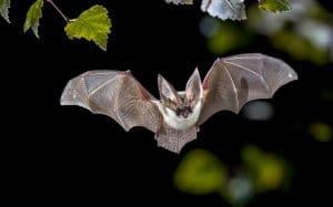 netopýr letící v noci v lese