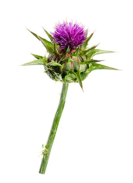 květ ostropestřec mariánský