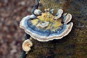 Oukovká pestrá - houba na pařezu