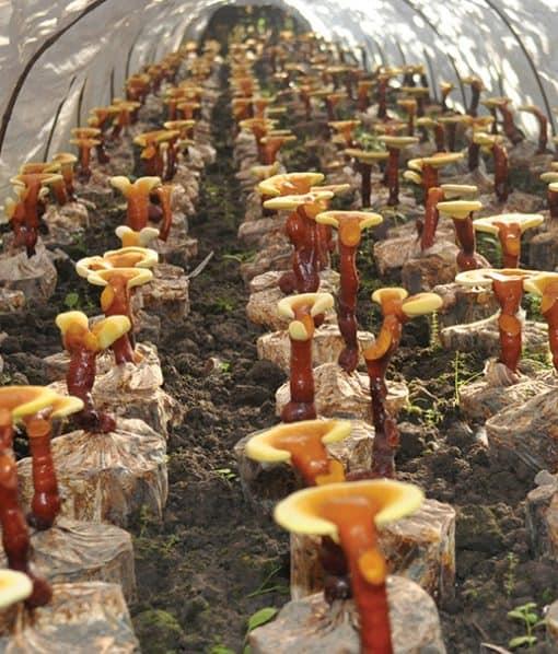 farma medicinální houby Reishi, Ganoderma lucidum, lesklokorka lesklá ve fóliovníku