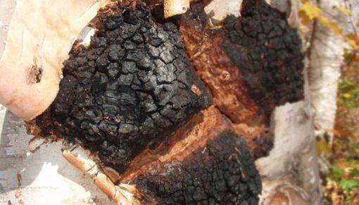 sibiřská čaga na kůře bílé břízy
